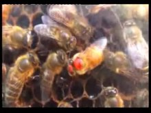 Файл:East-Learns-from-West-Asiatic-Honeybees-Can-Understand-Dance-Language-of-European-Honeybees-pone.0002365.s004.ogv