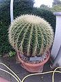 Echinocactus grusonii Bonn.JPG