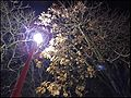 Effet de la pollution lumineuse sur l'arbre urbain Effect of light pollution on urban trees and dead leaves 04.jpg