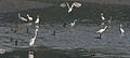 Egrets (Little & Great) & Cormorants (Indian) in Kolkata W IMG 4385.jpg