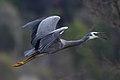 Egretta novaehollandiae -Lysterfield Park, Melbourne, Victoria, Australia -flying-8.jpg