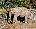 Elephant, Belfast Zoo - geograph.org.uk - 1766164.jpg