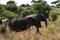 Elephants, Tarangire National Park (15) (28085155813).jpg