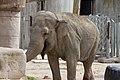 Elephas maximus - 03.jpg
