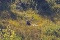 Elk 3 (8005294419).jpg