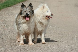 Elo dog - 2 Great Elo wirehaired tri-color and cream-color