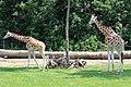 Em - Giraffa camelopardalis rothschildi - 5.jpg