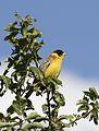 Emberiza melanocephala - Karabaşlı kirazkuşu 01-8.jpg