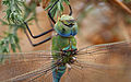 Emperor dragonfly (Anax imperator), Le Courégant, Brittany, France (19842695241).jpg