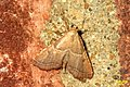 Endotricha flammealis (BG) (15341959610).jpg