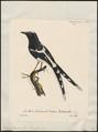 Enicurus leschenaultii - 1825-1834 - Print - Iconographia Zoologica - Special Collections University of Amsterdam - UBA01 IZ16300131.tif