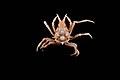Epialtidae (MNHN-IU-2013-1825).jpeg
