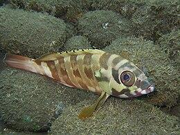 Epinephelus fasciatus.jpg