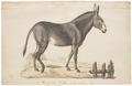 Equus taeniopus - 1700-1880 - Print - Iconographia Zoologica - Special Collections University of Amsterdam - UBA01 IZ21700019.tif