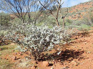 <i>Eremophila conferta</i> species of plant