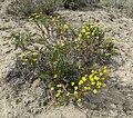 Ericameria linearifolia 5.jpg