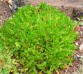 Eriogonum hirtellum 1.jpg