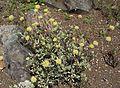 Eriogonum prattenianum avium.jpg