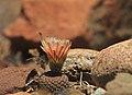 Eriosyce napina ssp. lembckei, Huasco, Región de Atacama,.jpg
