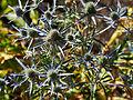 Eryngium amethystinum-IMG 9363.jpg