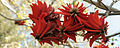 Erythrina corallodendron 2145 Big.jpg