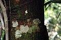 Erythrina poeppigiana 7zz.jpg