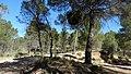 Escoba de bruja. Candidatus Phitoplasma pini. En el monte de Fuente Podrida - panoramio.jpg