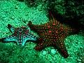 Estrela do mar 2 Igor.JPG