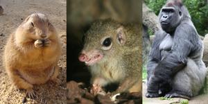 Vertreter der drei Hauptlinien der Euarchontoglires. Von links nach rechts: Präriehund (Cynomys ludovicianus: Glires), Gewöhnliches Spitzhörnchen (Tupaia glis: Scandentia), Westlicher Flachlandgorilla (Gorilla gorilla gorilla: Primatomorpha).