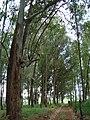 Eucaliptos de semente na beira da estrada com 20 anos de idade sem adubação e correção do solo (Eucaliptus spp (spp = muitas espécies)) Família, Mirtáceas - panoramio.jpg