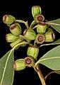 Eucalyptus angulosa - Flickr - Kevin Thiele.jpg