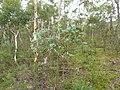 Eucalyptus bridgesiana (5371362466).jpg