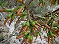 Eucalyptus eremophila flower buds 1449.jpg