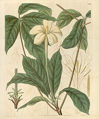 Euclinia longiflora Bot. Mag. 62. 3409. 1835