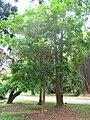 Eugenia uniflora - Jardim Botânico de São Paulo - IMG 0388.jpg
