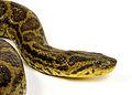 Eunectes notaeus anaconda jaune 4.jpg
