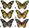 Euphaedra sarcoptera adult males - ZooKeys-298-001-g005.jpg