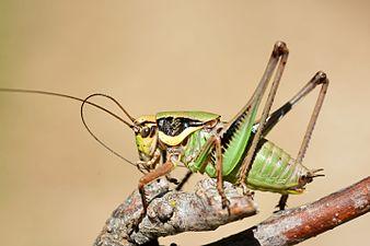 Eupholidoptera chabrieri male (31036314374).jpg