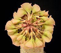 Euphorbia alfredii4 ies.jpg