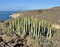 Euphorbia canariensis R02.jpg