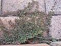 Euphorbia maculata plant5 (16180595928).jpg