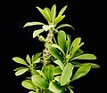 Euphorbia nivulia ies.jpg