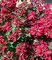 Euphorbia pulcherrima 2.jpg