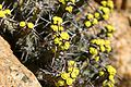 Euphorbia schinzii00.jpg
