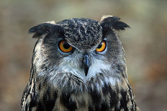 Eurasian eagle-owl - Note the orange eyes and vertical stripes on the chest.