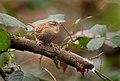 Eurasian Wren (Troglodytes troglodytes), Parc de Woluwé, Brussels (32687822414).jpg