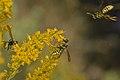 European Paper Wasps (Polistes dominula) - Mississauga, Ontario.jpg