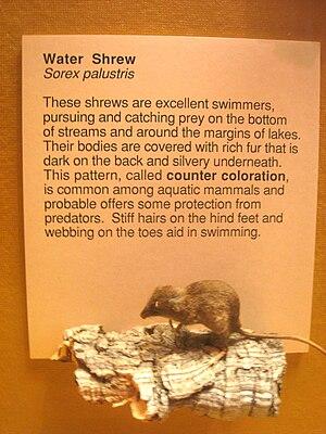 American water shrew - Image: Exhibit Museum of Natural History, Ann Arbor IMG 9035