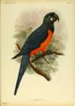 Extinctbirds1907 P14 Ara martinicus0309.png