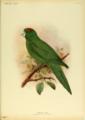 Extinctbirds1907 P16 Conurus labati0313.png